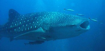 whale-shark-similan-islands-350x170.large.jpg