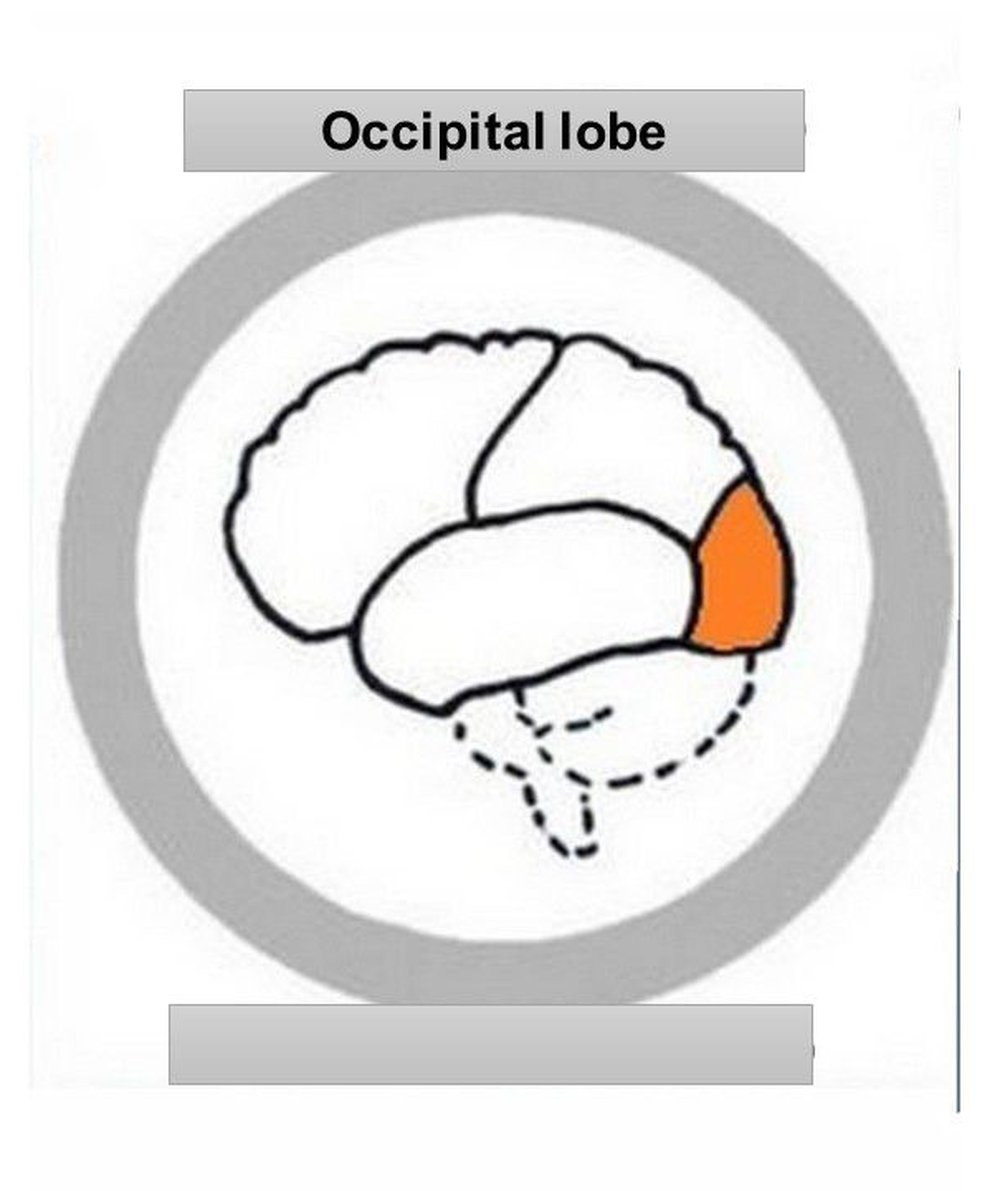 occipitallobe.jpg