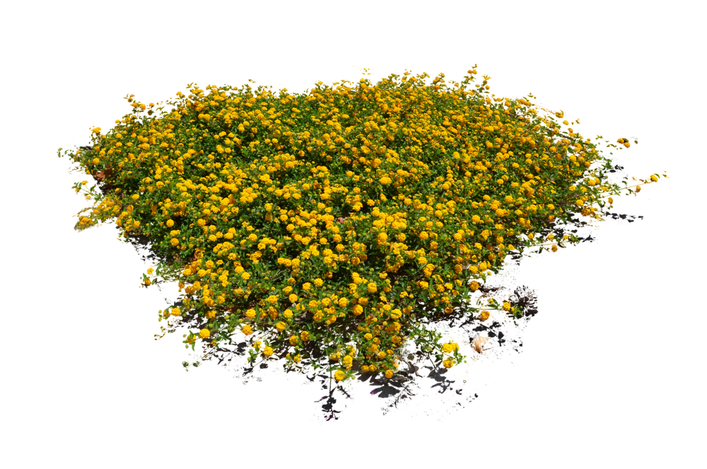 yellow_flower_bed_stock_photo_dsc_0103___png_by_annamae22-d83ndle.png