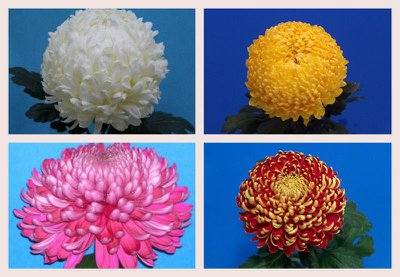 collage-chrysanten-1.large.jpg