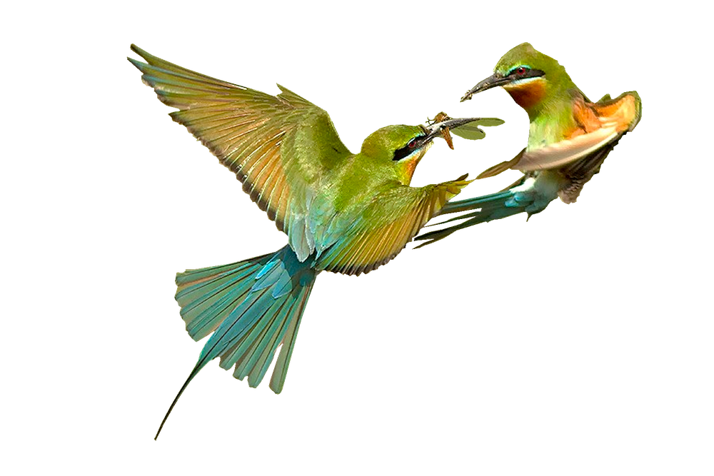 BLUE-TAILED-BEE-EATERS-Subramanniyan-Mani1.png