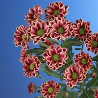 demex-flowers-chrysant-santini-fox-week-1-20101-1.large.jpg