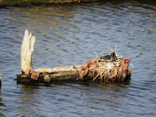 the coot 'egg' nest