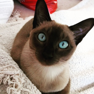 Brief Introduction Of Our Cattery And Tonkinese Stud And Cats