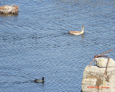 and the goose did make after this picture a turn and flew over them into the IJ-canal