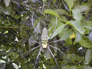 golden-orb-spider-again.large.jpg