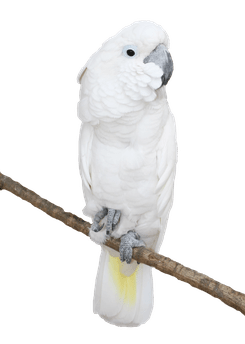White_Parrot_Transparent_PNG_Picture.png