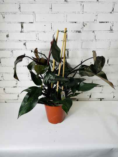 Philodendron Ruby Red