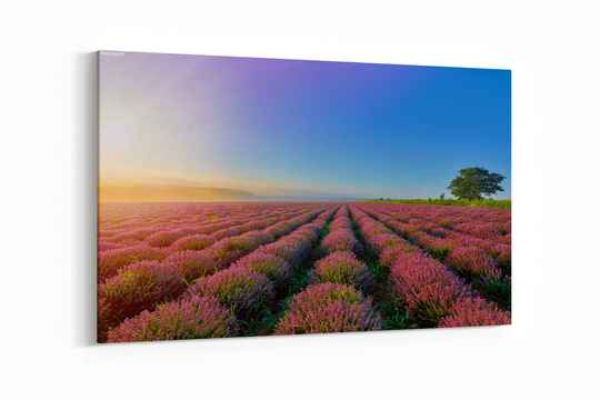 Sunrise over Lavender Field in the Morning