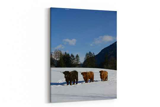Nature scene with cow animal at winter with snow mountain landscape