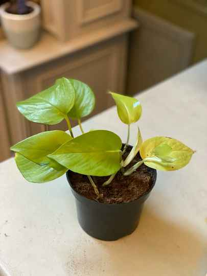 Plant Philodendron Lime