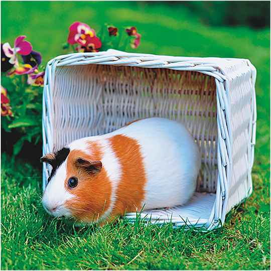 3D wenskaart guinea pig back to nature (x6)