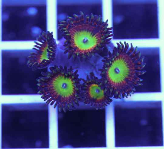 Bowser Zoanthids