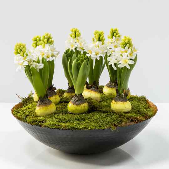 Bowl with hyacinths