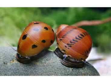 Neritina red spotted snail  *