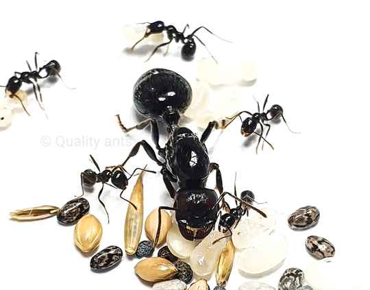 Messor barbarus 15 to 35 workers