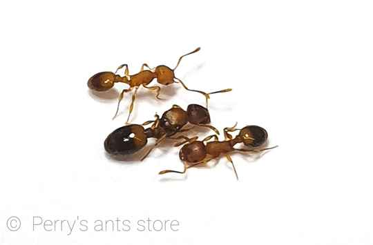 Temnothorax sp queen with brood