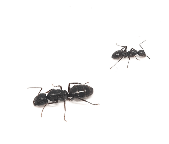 New: camponotus fallax 20 to 35 workers