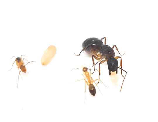New: Camponotus pilicornis 1 to 10 workers