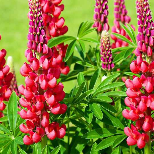 Lupinus 'Gallery Red' - P9cm