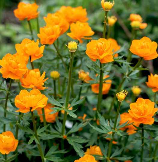 Trollius chinensis 'Golden Queen' - P9cm