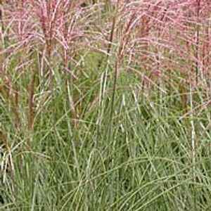 Miscanthus sin.'MorningLight' P9cm