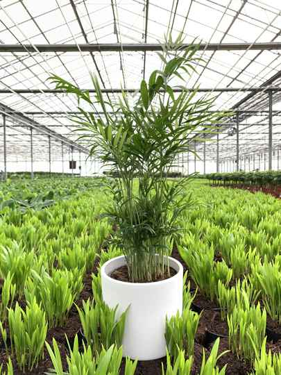 Chamaedorea Palm - Billie (KATPROOF)