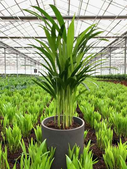 Areca palm - Allison (KATPROOF)