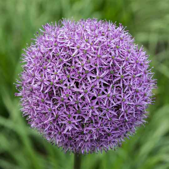 Allium | Gladiator