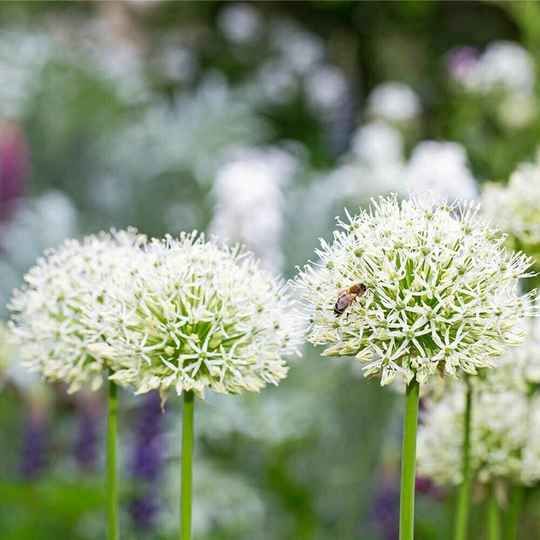 Allium | White Giant | ↑ 80 - 90 cm.