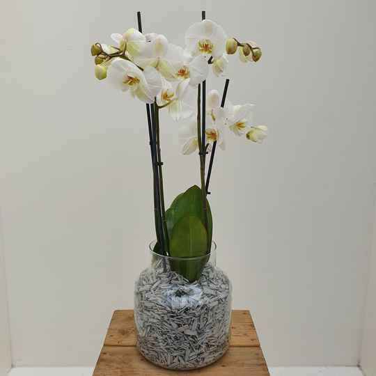 """Orchid in vase """"White"""""""