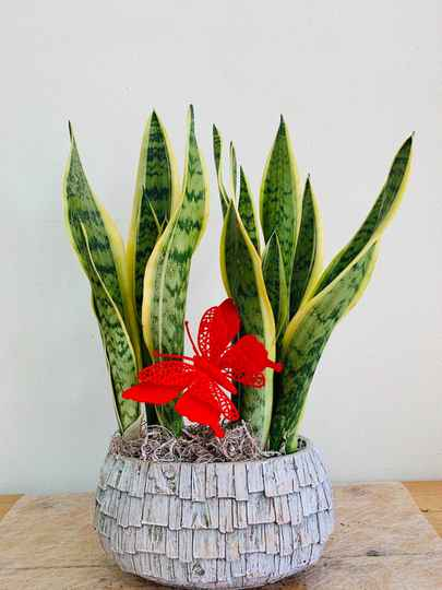 Sanseveria in stenen pot