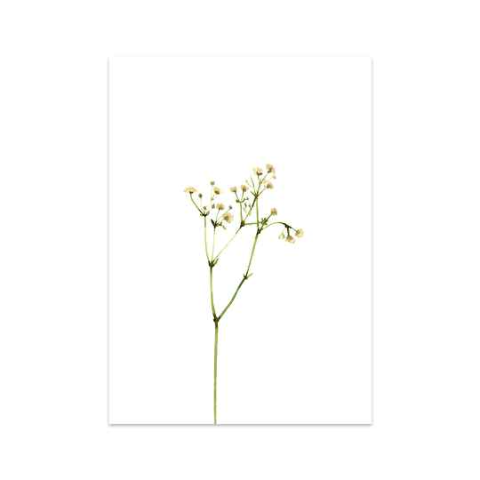 Lovely Gypsophila A4 Print
