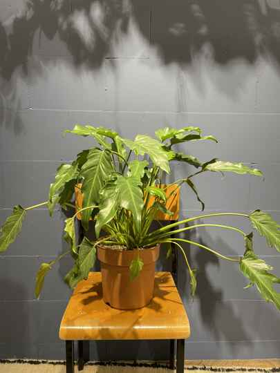 Philodendron 55 cm hoog