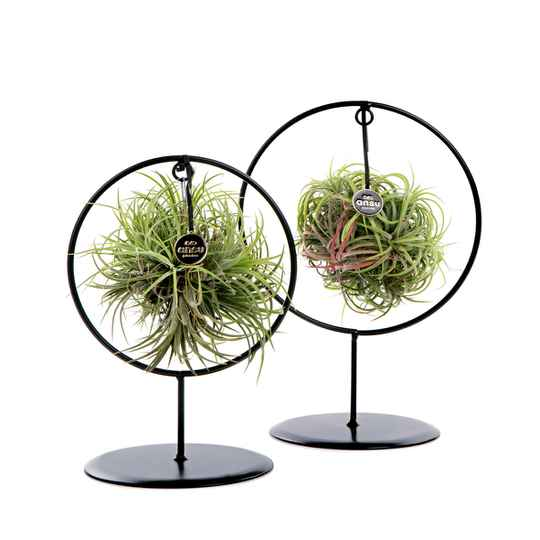 Duo frame rond met airplant oftewel Tillandsia bol set