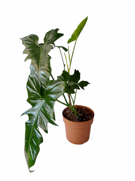 Philodendron green dragon XL (licht Camouflage)