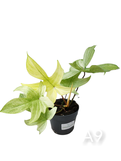 Philodendron Florida Ghost #A9