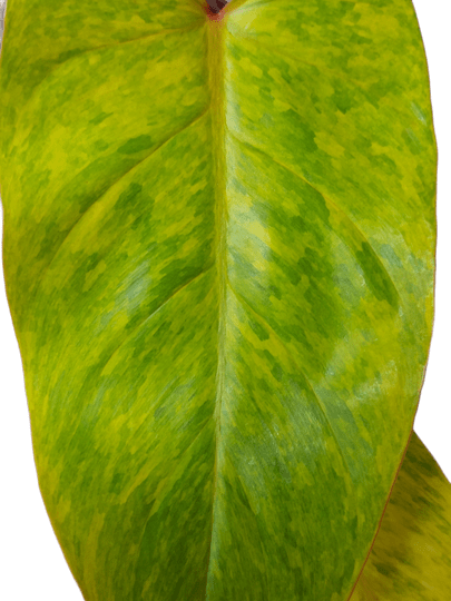 Philodendron Painted Lady (Medisa)