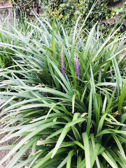 Liriope muscari 'Big Blue'     --   Leliegras