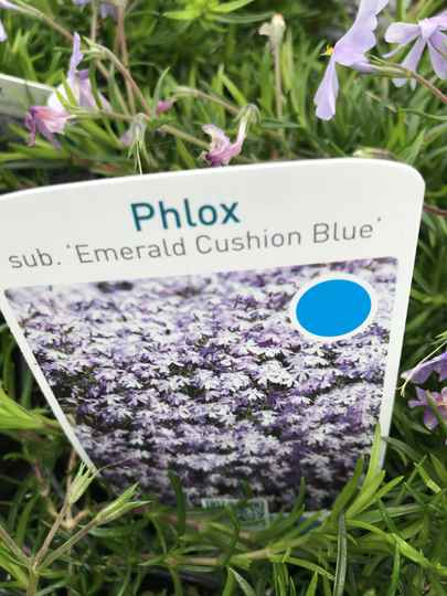 Phlox sub. 'Emerald Cushion Blue'   --   Vlambloem