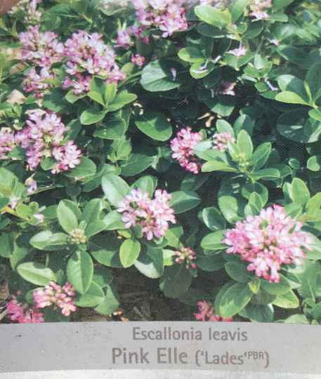 Escallonia leavis 'Pink Elle'   --  Escallonia