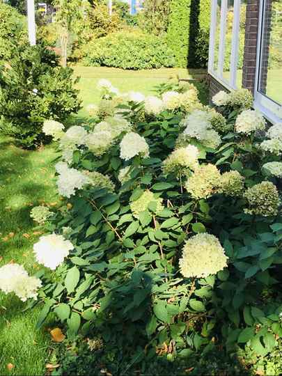 Hydrangea pan. 'Little Lime'  --  Pluimhortensia