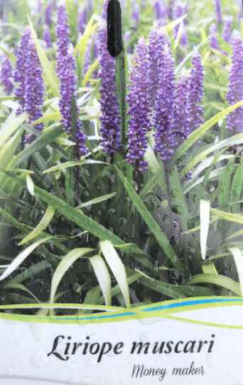 Liriope muscari 'Money Maker'     --   Leliegras