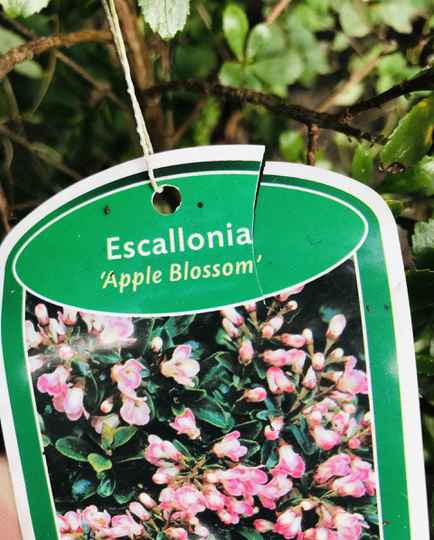 Escallonia leavis 'Apple Blossem'   --  Escallonia