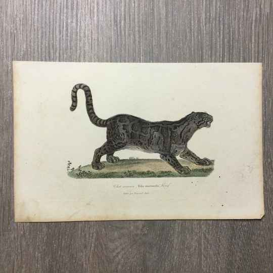 Antoine-Charles Vauthier - Chat arimaou - Nevelpanter - 1838
