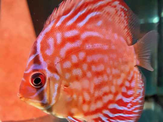 Rood Turquoise Stendker - Symphysodon Discus