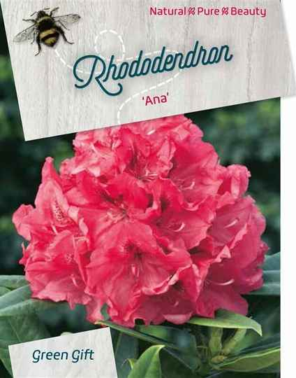 Rhododendron 'Ana' Pink/red 40-50 / 60-70