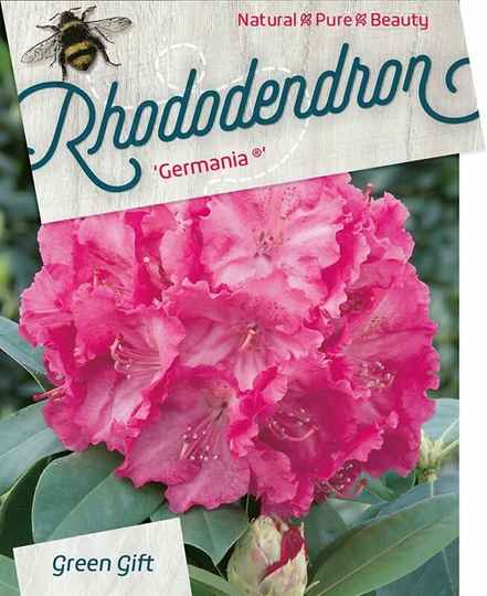 Rhododendron 'Germania' Roze 40-50