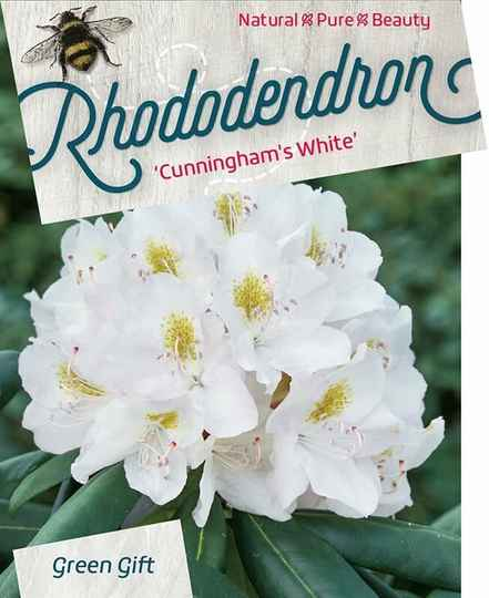 Rhododendron Cunningham's White 40-50 C10