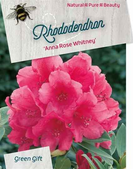 Rhododendron 'Anna Rose Whitney' pink 80-100